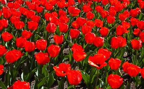 Wallpaper Field, Spring, Spring, Field, Red tulips, Red tulips