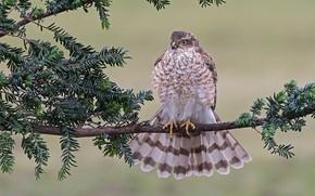 Picture bird, branch, feathers, Hawk, Sparrowhawk