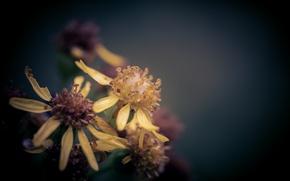 Picture flower, macro, after the rain, bokeh, Ragwort