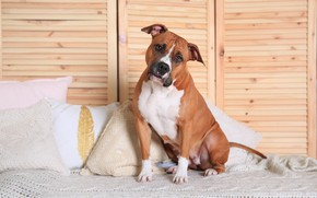 Picture pillow, girl, boxer, breed