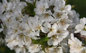Picture branch, flowers, flowering, gently, cherry, leaves