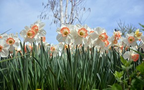Picture flowers, Daffodils, spring bloom