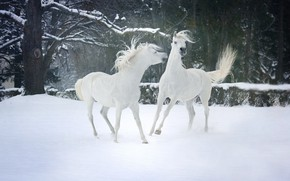 Picture winter, forest, snow, trees, nature, mood, two, horses, horse, pair, white, friends, sports, two knights