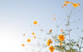 Wallpaper kosmeya, petals, plant