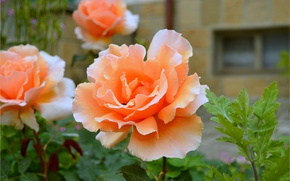 Picture Rose, Rose, Flowers