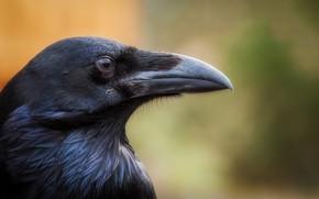 Picture bird, black, beak, Raven