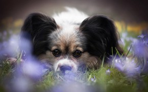 Picture look, flowers, dog, face, Papillon, The continental toy Spaniel