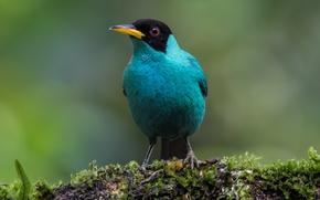 Picture birds, male, mangrovye, green SAI