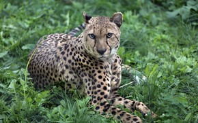 Picture nature, predator, the plot, tail, exotic, Sunny, lawn, zoo, cat, fauna, cheetahs, animal world