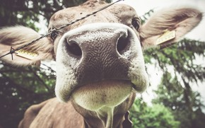 Picture nature, cow, cattle