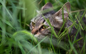Picture field, cat, summer, grass, cat, look, face, nature, green, grey, background, portrait, striped, cereals, sniffing