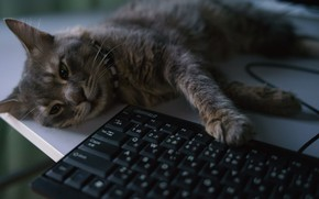 Picture cat, lies, keyboard