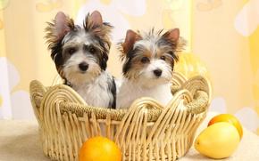 Picture basket, puppies, fruit, Biewer-York
