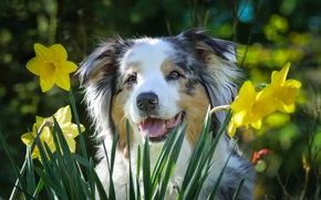 Picture daffodils, dog, happy