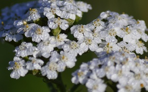 Picture Drops, Drops, White flowers, White flowers