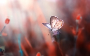 Wallpaper macro, flowers, butterfly, rozmyte