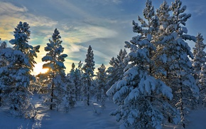 Picture winter, forest, snow, trees, Norway, Norway, Hedmark County, Hedmark, Stene