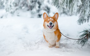 Picture winter, snow, joy, branches, smile, mood, doggie, Welsh Corgi, dog ulybaka
