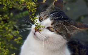 Picture cat, eyes, cat, face, leaves, nature, background, portrait, branch, spring, wild eyes
