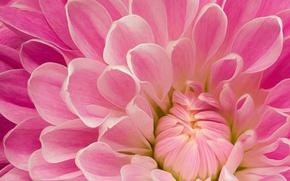 Picture pink, petals, Dahlia