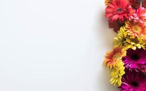 Wallpaper gerbera, colorful, pink, flowers, spring, gerbera, flowers