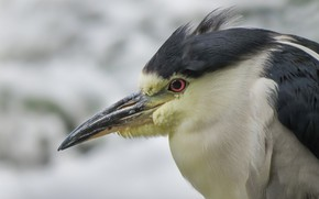 Picture bird, beak, Heron, common Heron