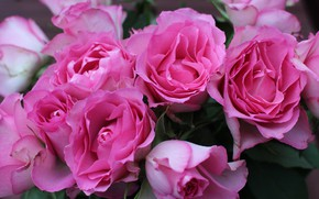 Picture roses, bouquet, pink, flower, pink, roses