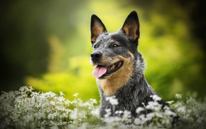 Picture flowers, dog, Lucy, bokeh, Australian cattle dog