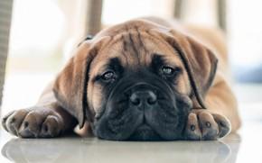 Picture look, puppy, face, doggie, Bullmastiff