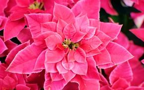 Picture flower, pink, flowering, leaves