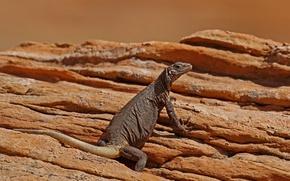 Picture rocks, lizard, AZ, caquella