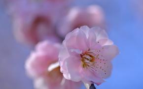 Picture petals, Sakura, flowering