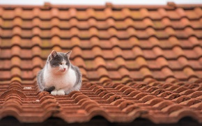 Wallpaper cat, roof, tile