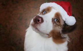Picture look, face, background, holiday, dog, Christmas, New year, cap, Australian shepherd, Aussie