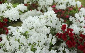 Picture Bush, rhododendron, white, Burgundy, Azalea