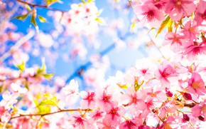 Picture petals, Sakura, flowering
