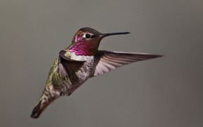 Picture bird, wings, beak, Hummingbird, Calypte Anna