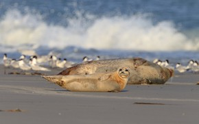 Picture sand, sea, wave, beach, birds, shore, seal, baby, family, lies, cub, wildlife, pinnipeds, seals