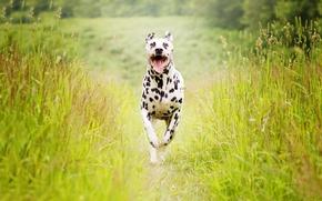 Wallpaper summer, dog, running