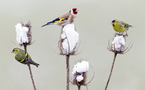 Wallpaper Germany, Chizh, winter, Thistle, snow, goldfinch, birds