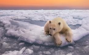 Picture winter, the sky, water, snow, nature, the ocean, ice, bear, horizon, polar bear