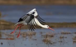 Picture nature, bird, stork