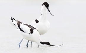 Picture bird, beak, pair, pied Avocet