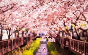 Wallpaper Sakura, Japan, branches, spring