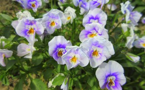 Picture flowers, Pansy, flowerbed, spring 2018, Mamala ©