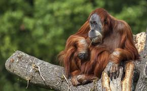 Picture tree, the primacy of, orangutan