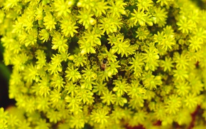 Picture flowers, bee, background, yellow, blur, yellow flowers, bee