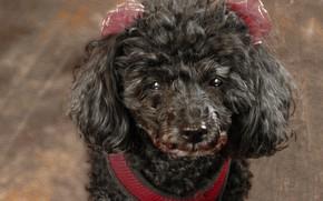 Picture design, animal, dog, poodle