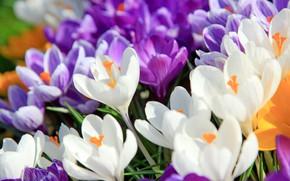 Picture Macro, Flowers, Nature, Meadow, Flowering, Crocuses