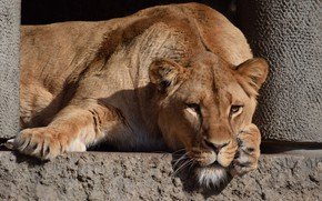 Picture Lioness, Stay, Animal